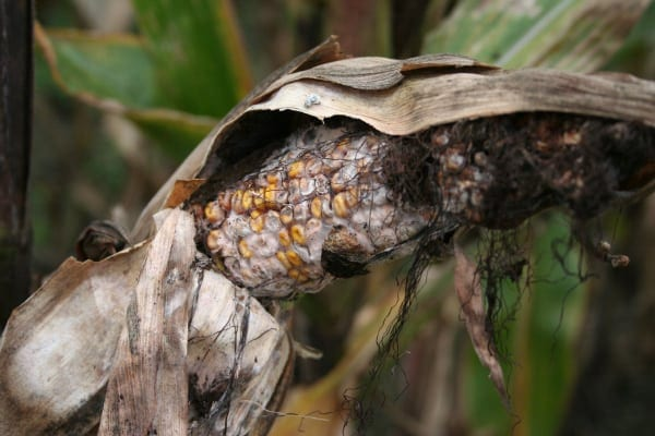 fuzarioza kolb kukurydzy, choroby kukurydzy, zwalczanie kuzariozy kolb kukurydzy, rolnik, rolnictwo, portal rolny, PIORiN, IOR