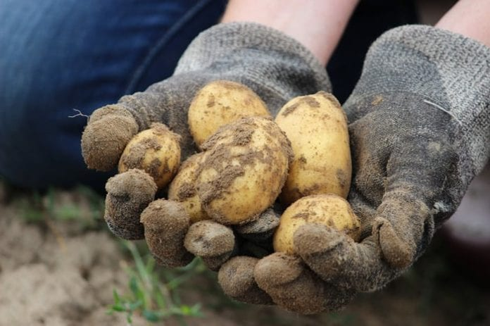 PIORiN, PIORiN ostrzega, rolnik, rolnictwo, portal rolny, ziemniaki, kukurydza, zagrożenia fitosanitarne, wirus ziemniaka, bakteria kukurydzy