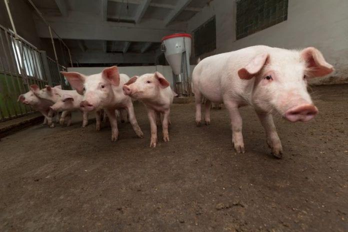 Ceny żywca wieprzowego, Krajowy Związek Pracodawców Producentów Trzody Chlewnej,  Aleksander Dargiewicz, świnie, ceny świń, ceny tuczników