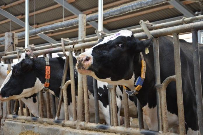 Pogłowie bydła, bydło, krowy, cielęta, GUS, Jakub Olipra, Credit Agricole, mleko