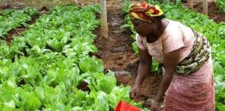 afryka rolnik