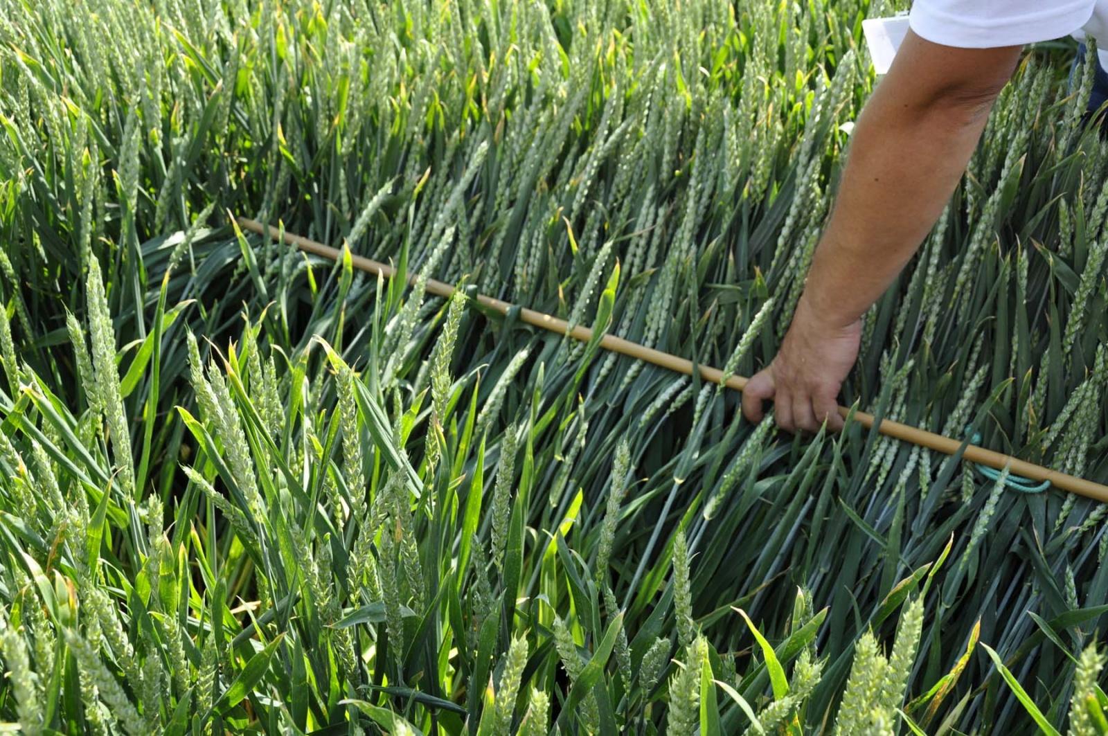 pszenica, odmiany pszenicy, odmiany pszenicy ozimej,COBORU