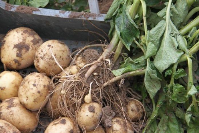 Ceny ziemniaków, ziemniaki