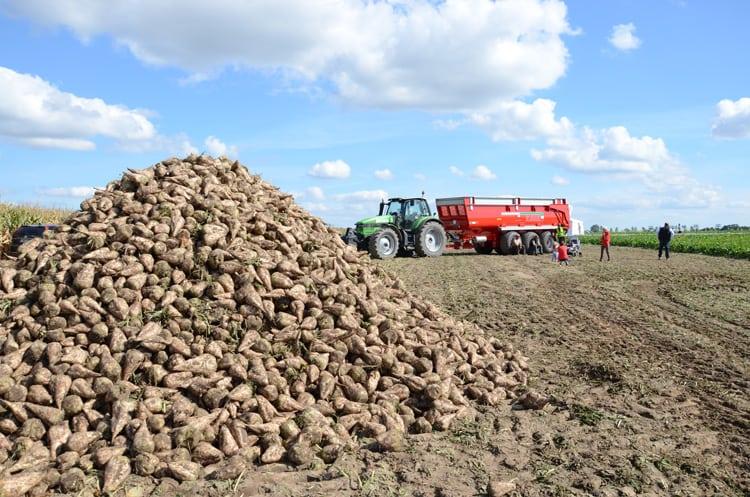 rolnictwo, portal rolny, zbiór buraków, buraki cukrowe, LIZ, okrywanie buraków, Kampania cukrownicza,