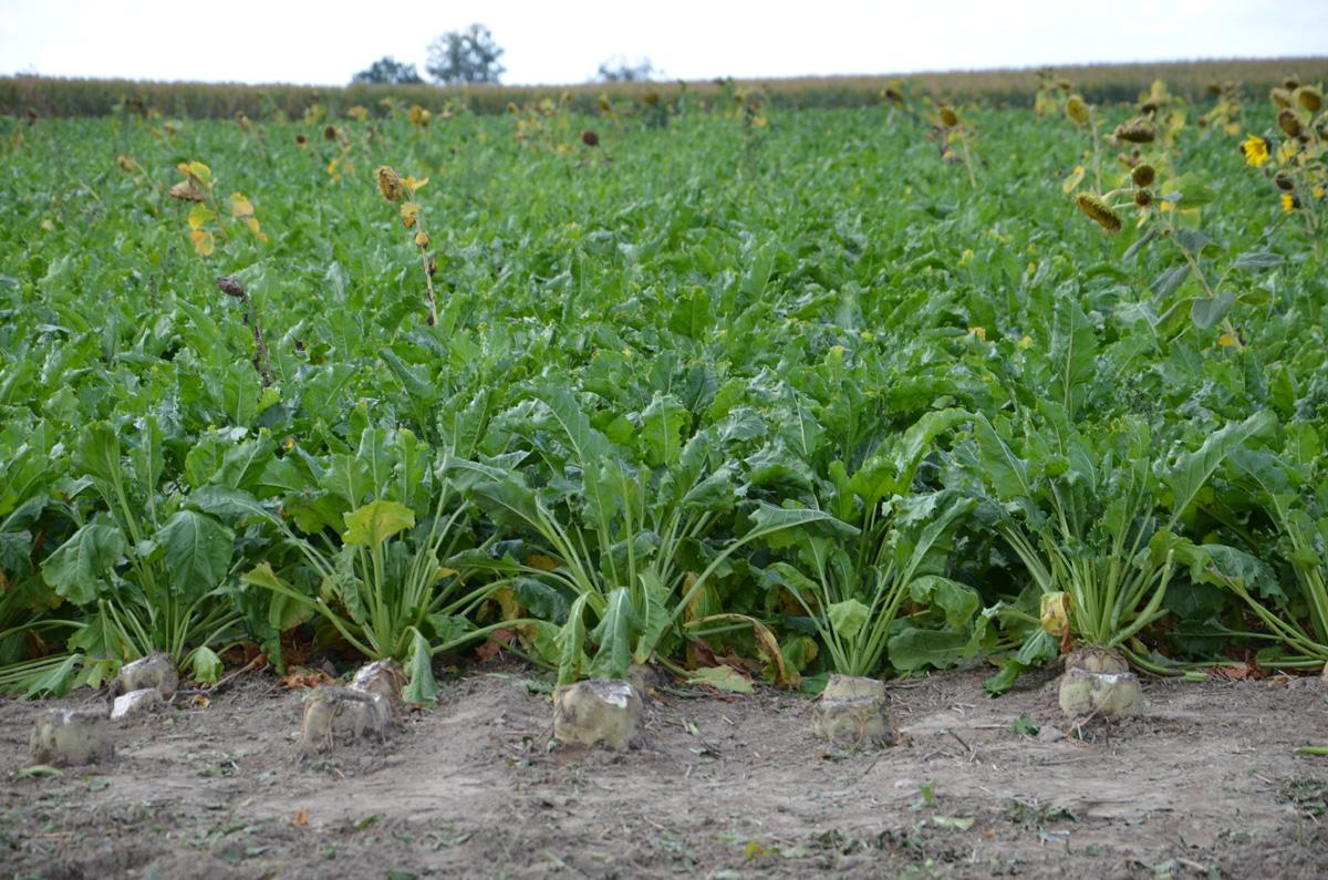 samosiewy rzepaku w buraku cukrowym, burak cukrowy, LIZ, mątwik burakowy, rolnik, rolnictwo, portal rolny