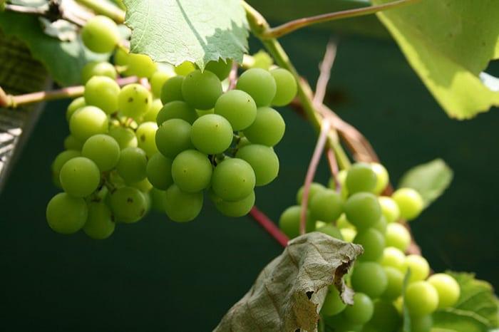 winogrona, wina, polskie wina, susza, klimat,