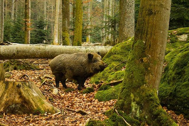 Euractiv.pl, rolnik, rolnictwo, ASF, trzoda chlewna, płot na granicy, walka z ASF