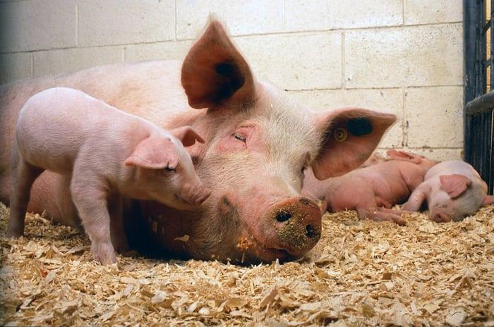 Krajowy Związek Pracodawców Producentów Trzody Chlewnej, trzoda chlewna, świnie, ceny świń