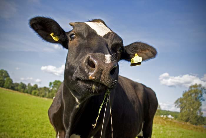dopłaty do bydła