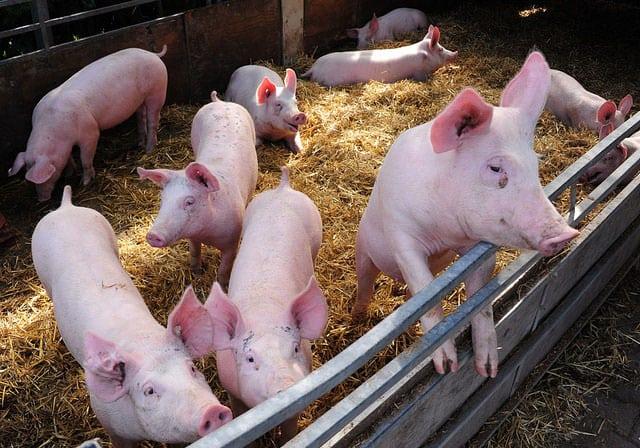 świnie, KZPPTCH, ceny tuczników