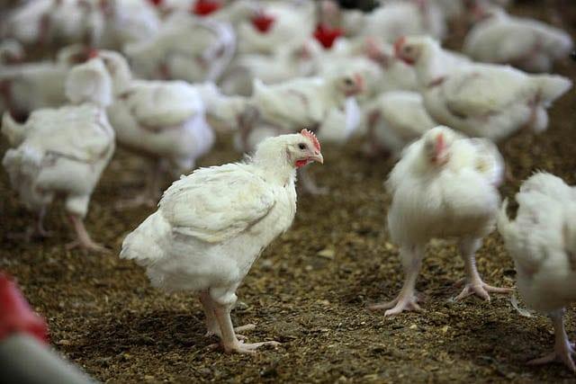drób,  ptasia grypa,  Belgia,  Krajowa Izba Producentów Drobiu i Pasz, grypa ptaków