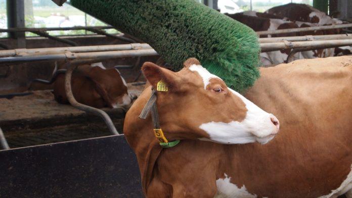 rolnik, rolnictwo, 500 plus na krowę, 500 plus na świnię, dobrostan zwierząt, DJP, Jarosław Kaczyński, ministerstwo rolnictwa, PROW
