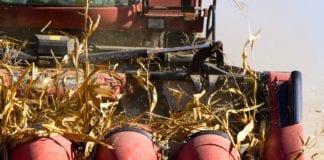 kukurydza Ukraina