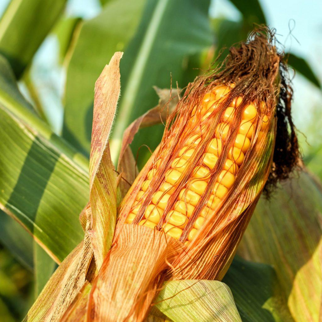 obsada roślin kukurydzy, rolnik, rolnictwo, kukurydza, odmiany kukurydzy, kukurydza na ziarno, kukurydza na kiszonkę,