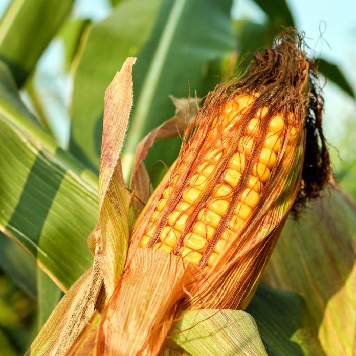 Zobacz, które odmiany średniowczesne plonowały najwyżej i najlepiej poradziły sobie w warunkach suszy.