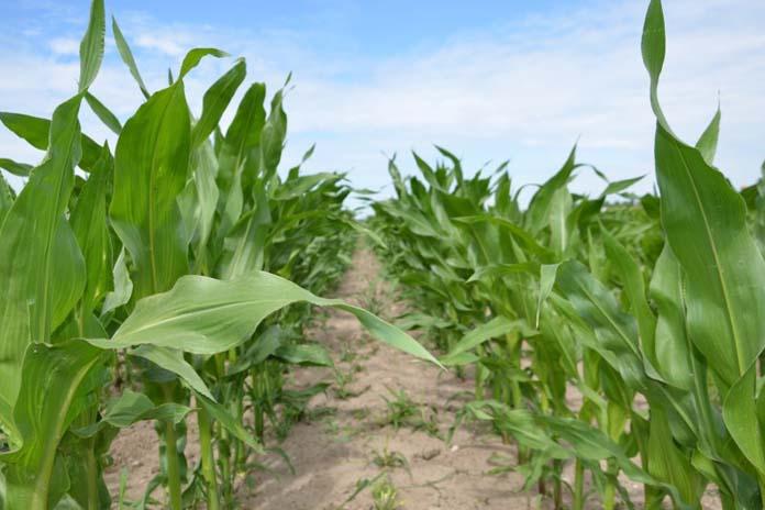 rolnik, rolnictwo, kukurydza, Jak pobudzić kukurydzę, regeneracja kukurydzy, aminokwasy