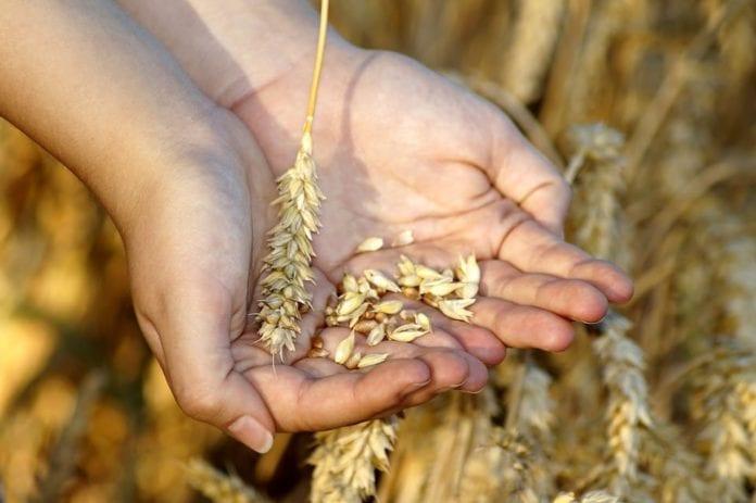 rolnik, rolnictwo, pszenica, prognozy zbiorów pszenicy, ceny pszenicy, BGŻ BNP Paribas