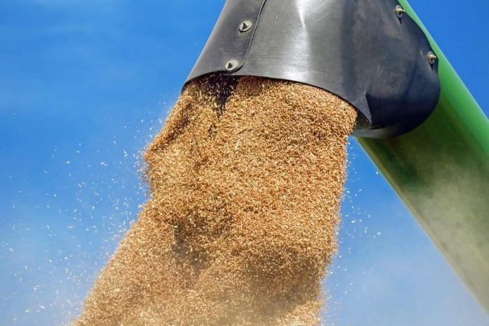 pszenica zbiory ceny