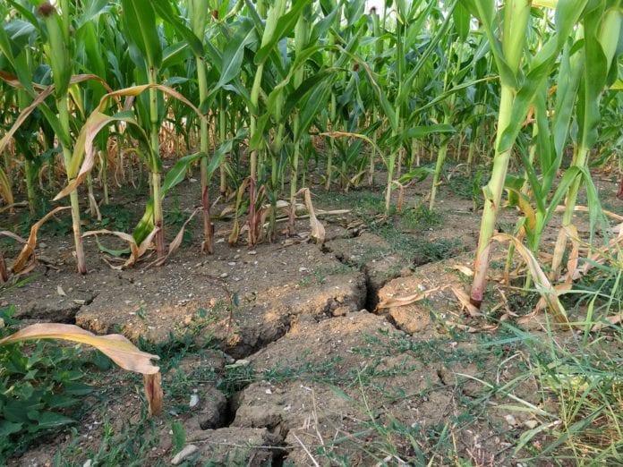rolnik, rolnictwo, monitoring suszy rolniczej, monitoring suszy, portal rolny, Jan Krzysztof Ardanowski, minister rolnictwa, susza, kukurydza, KBW,