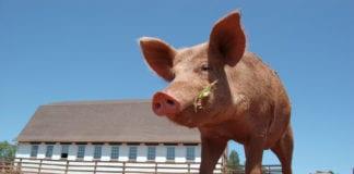 świnia asf