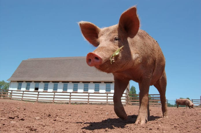 rolnik, rolnictwo, ASF, ASF w Chinach, Pig Progress