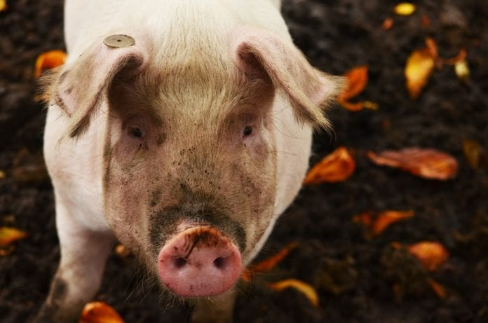 rolnik, rolnictwo, trzoda chlewna, ceny świń, świnie, PKO BP, AgroNawigator, ceny trzody chlewnej