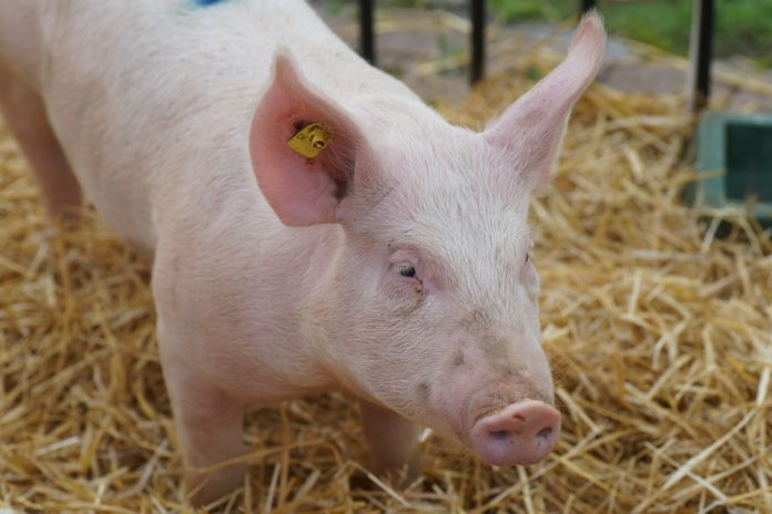 rolnik, rolnictwo, wzrost cen tuczników, trzoda chlewna, ceny wieprzowiny, ceny tuczników