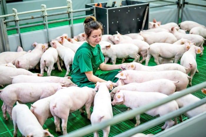 pomoc dla rolników, rolnik, rolnictwo, portal rolny, świnie, ASF, Opłacalność hodowli trzody chlewnej, Gogarto