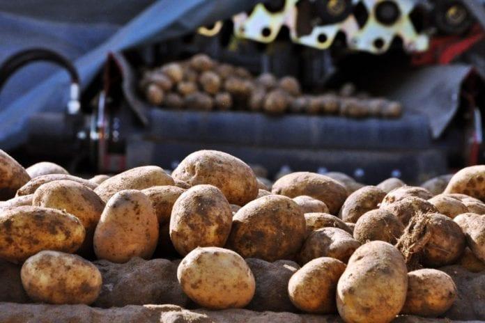ziemniaki , ASAP, Polskie Stowarzyszenie Rolnictwa Zrównoważonego, rolnictwo zrównoważone, uszkodzenia ziemniaków, zbiór ziemniaków