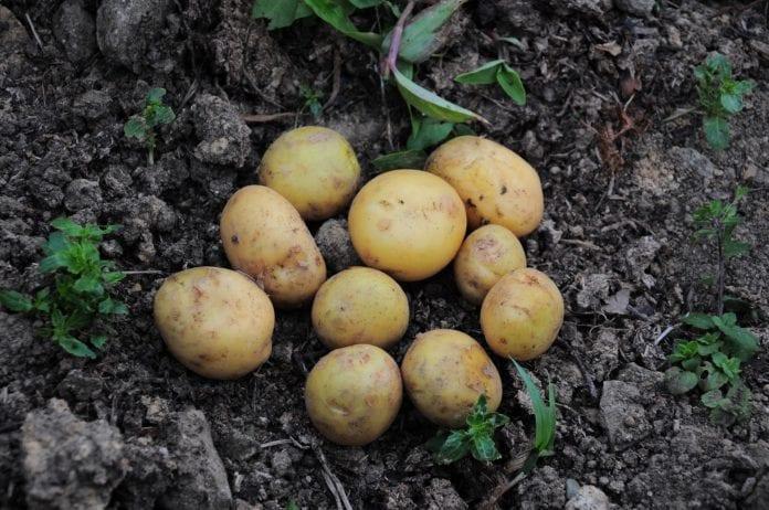 susza w Polsce, susza, ziemniaki, kukurydza, rzepak, rzepik, buraki cukrowe, IUNG, rolnik, rolnictwo, krzewy owocowe, rośliny strączkowe, ziemniaki, portal rolny